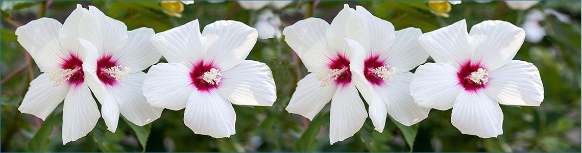 Ketmie de marais <span class='italic'>(Hibiscus moscheutos)</span>