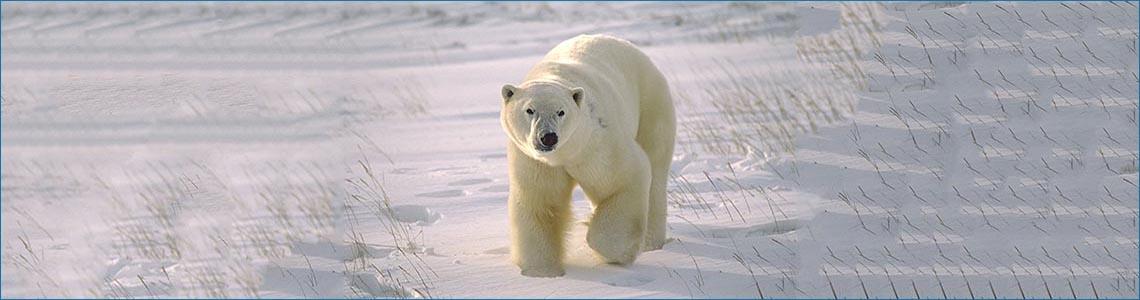 Polar Bear <span class='italic'> (Ursus maritimus)</span>