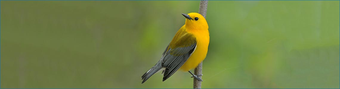 Prothonotary Warbler <span class='italic'>(Protonotaria citrea)</span>