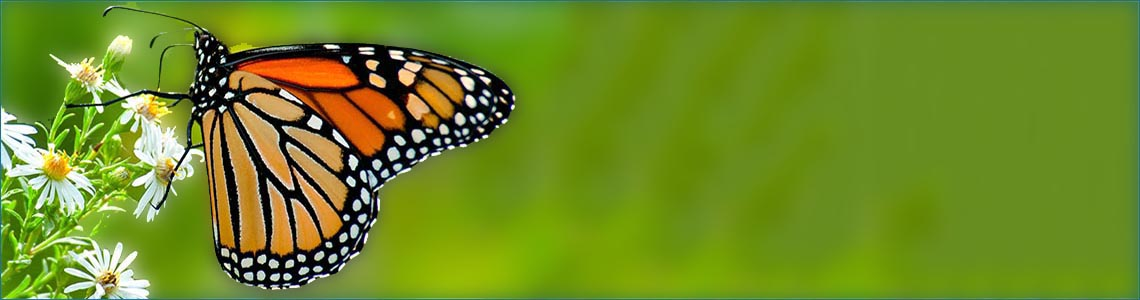 Monarch <span class='italic'>(Danaus plexippus)</span>